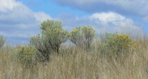 grasslandsrabbitbrush